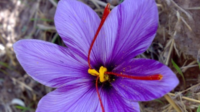 Saffron futures launched on Iran Mercantile Exchange