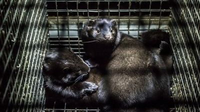 Lithuania uneasy about possible coronavirus mutation at local mink farms