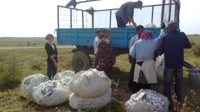 Uzbekistan ending cotton crop quotas and lifting cultivation obligations on farmers