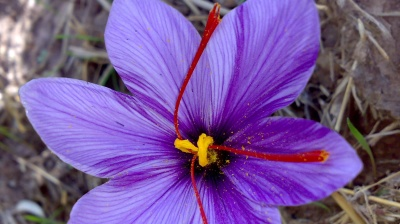 Iran's saffron farmers on course to beat last calendar year's output by 26 tonnes with 430 tonnes forecast