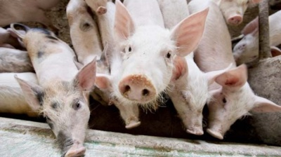 Serbia the latest country to report African swine fever as global epidemic spreads in Eastern Europe
